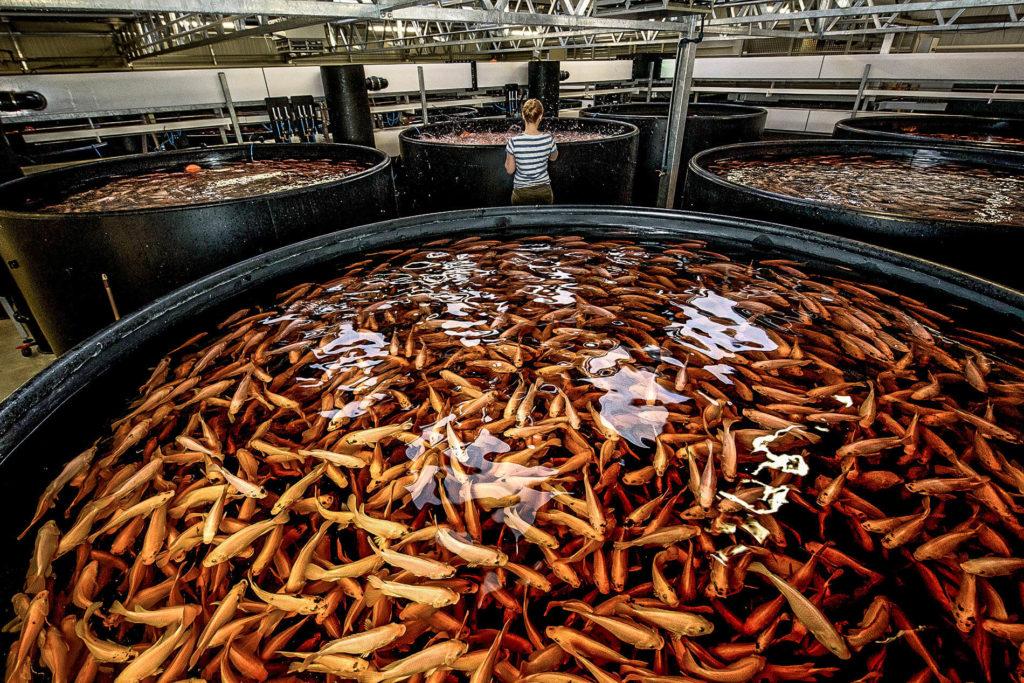 Aquaponic, fish farming, fish, farming