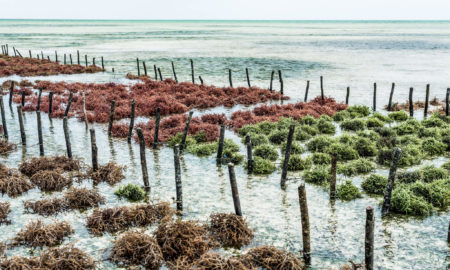 Rows of seaweed / Seaweed – vegan food for restaurant