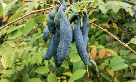 blue cucumber, or blue pepper for cooking